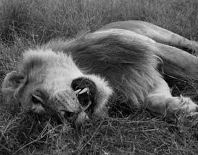 anjing-hidup-singa-mati